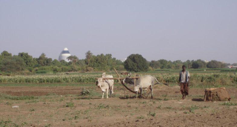 An ox bucket pulls a plow on a ground near the capital Khartoum