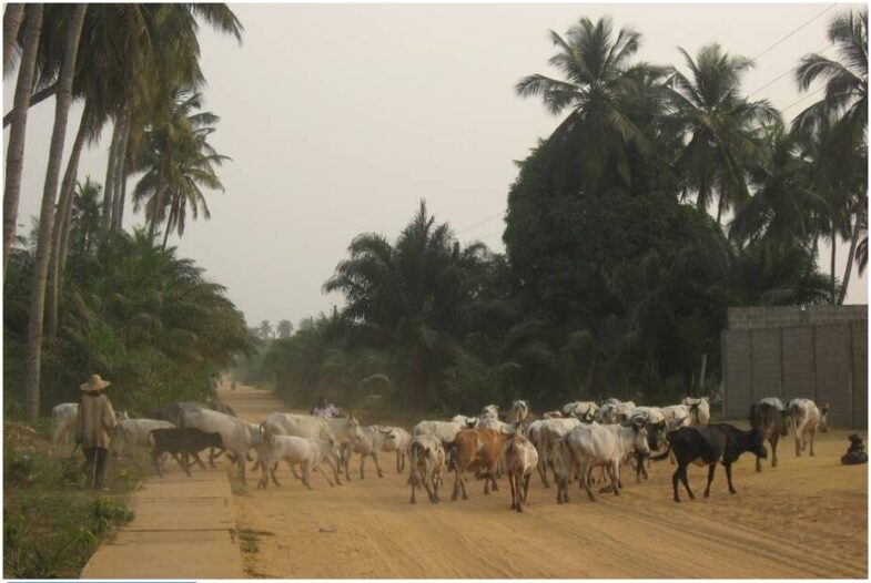 Herd of cattle in the south of Benin